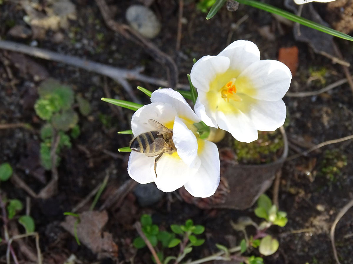 krokusy i pszczoła