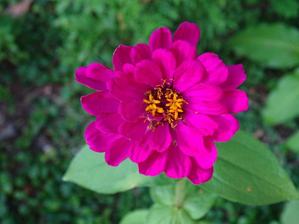 cynia- roślina jednoroczna